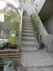 Sugarcane Growing up the Steps