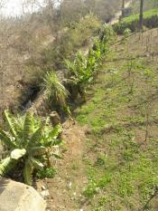 Slender Papaya Seedlings Transplanted to the Land