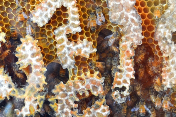 honey bees in the comb image