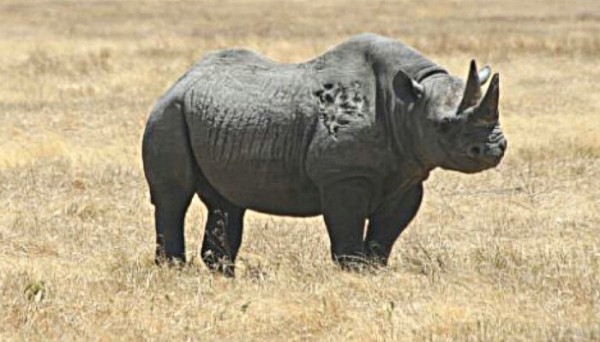 black rhino in africa