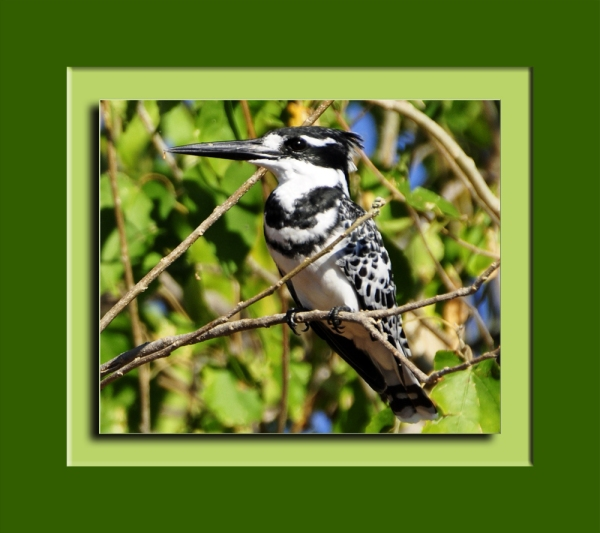 Abu Ghuttaas, a Pied Kingfisher, in a Toot (Mulberry) Tree