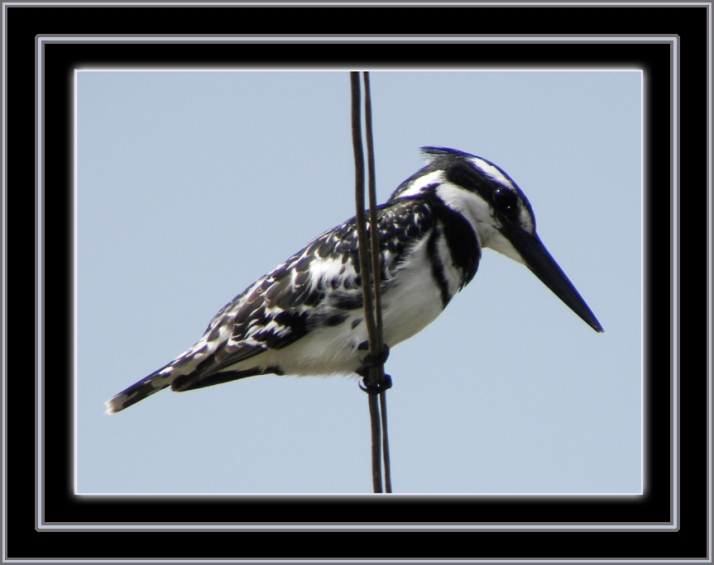 "A Pied Kingfisher (Ceryle rudis), also known as ""Abu Ghuttaas"" (""father of those who dunk"") sits on the wire hunting for fish in an irrigation canal fed from the Nile River in our rural village in Egypt"